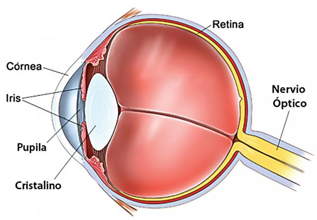 Es el cristalino del ojo humano circular o elíptico? (I) | Instituto ...