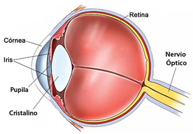 ¿Es el cristalino del ojo humano circular o elíptico? (I)